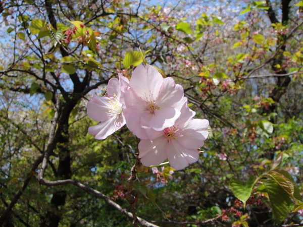 這是單瓣的献木櫻,和吉野櫻不同喔~