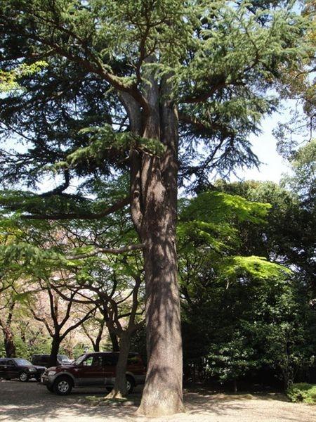 這株松樹實際上看到時好大一株而且好高~