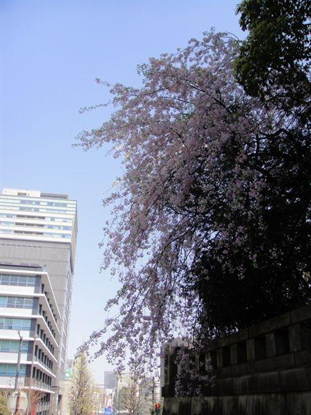 美麗的枝垂櫻(垂れ桜)