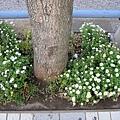 行人道上的花圃全都種買了叢枝菊