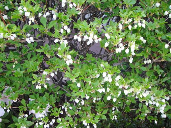 另一種鈴噹狀的花朵