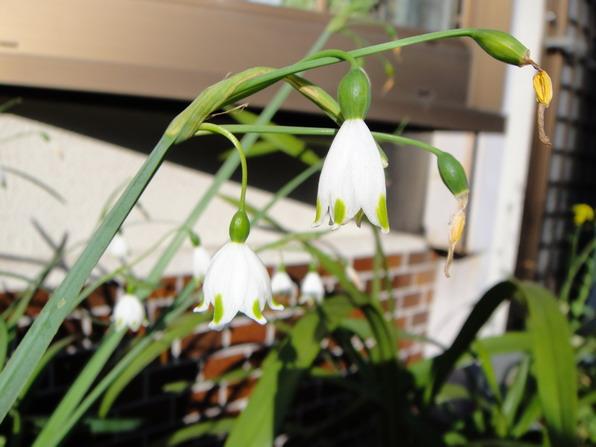 它叫雪片蓮,可是長的不像蓮花啊?