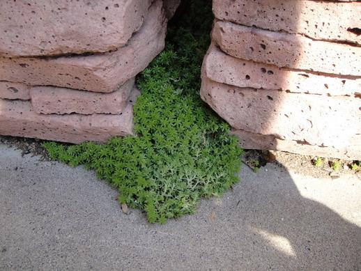 間隙中也有~ 婆婆說是從花圃土裡拔下隨便丟地上,過一陣子居然長成這樣~ 真是太強了!