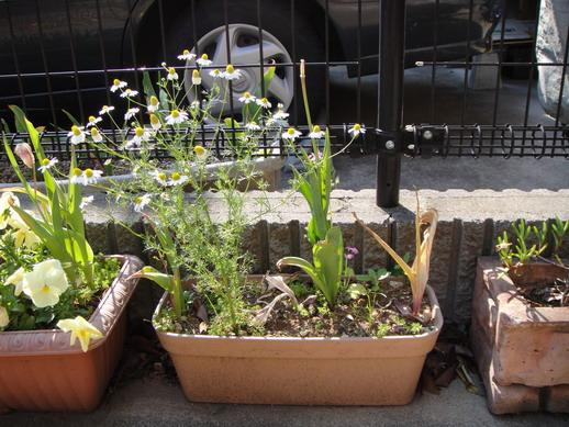 這是之前從北海道搬家時,給公婆寄養的花盆,我都忘了它~ 小雛菊是一直子子孫孫傳下來的~