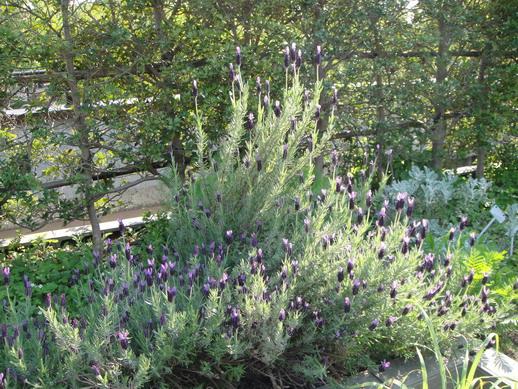柏之葉公園香草花園裡的薰衣草