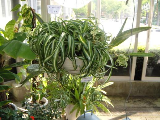 在溫室見到這株就愛上了~ 母株垂吊著還伸手好幾球小孩~好可愛