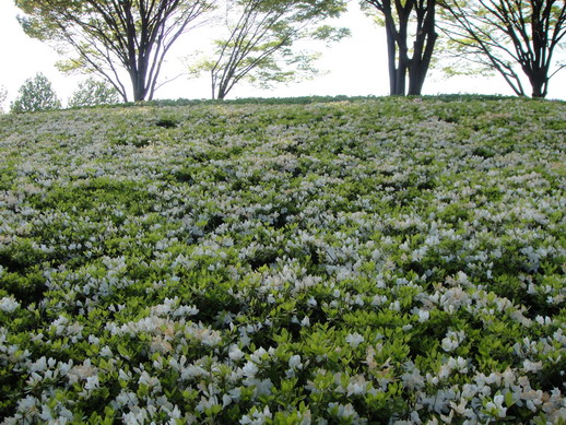 小山坡上全是開白色小朵的杜鵑花