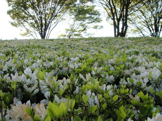 小朵的白色杜鵑花