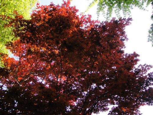 另一種夏天也會楓紅的楓樹