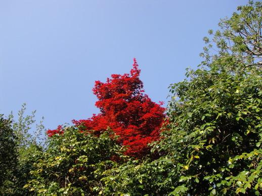 在茶亭前看到遠方有株超級紅的楓樹~
