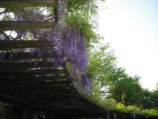 它沒有以前我北海道家前公園裡的紫藤花開的多~
