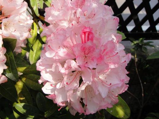 花很像杜鵑花,公公說它是杜鵑的一種