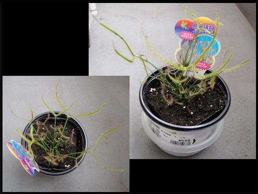在SUNAMO買到的食蟲植物 - 岔葉毛氈苔