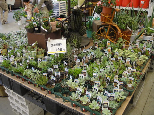 Lazona 裡的Unidy所販售的多肉植物,我最愛逛這了~