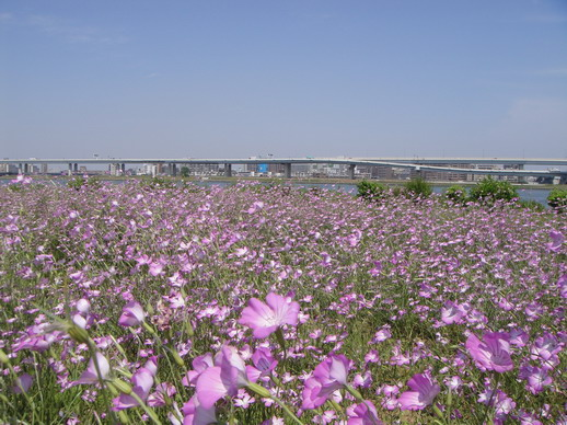 小姐的娘家附近的河堤公園開滿了好多花喔~~