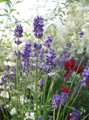 在走去jusco的花圃裡開滿了好多花~ 這薰衣草開的好美喔~