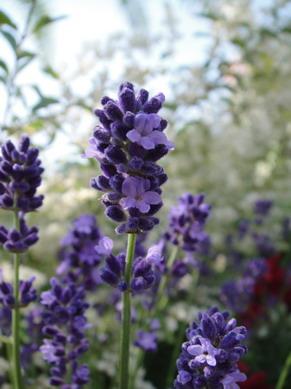 這品種是早咲濃紫