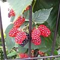經過它時,好興奮喔~ 是黑莓耶!! 接著就吞了一口口水.....