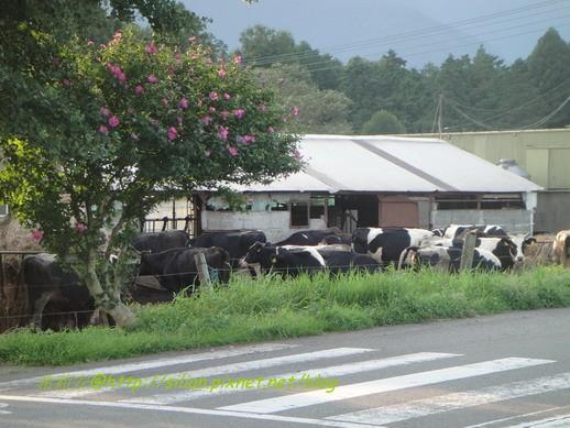 真的牛~ 真的牧場~~~XD