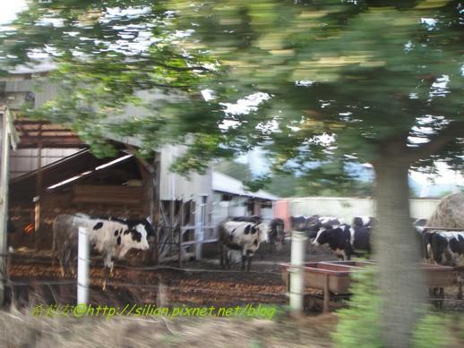 一直有隻牛對我們叫喔~