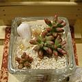 姬虹之玉超級可愛,怎麼做都可以做出可愛的盆栽。
