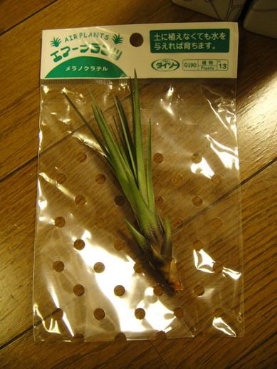 Tillandsia tricolor var. melanocrater 三色花
