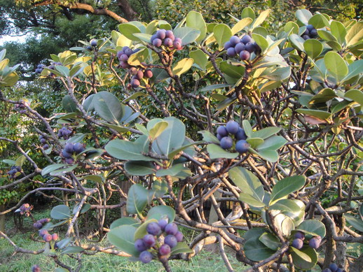不知名的灌木~ 結了好多藍紫色的果實~