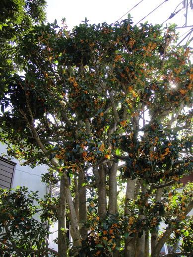 黃金桂花樹~超級香的~