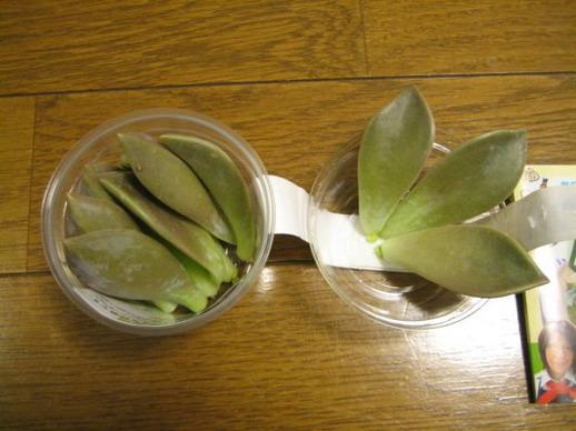 2008/11/20 特地挑己經有發芽的一盒,一半要拿來吃一半要拿來做母葉。