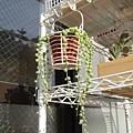 2009/5/15 綠之鈴的狀況不是很好,也許天暖了,趕緊移到窗外