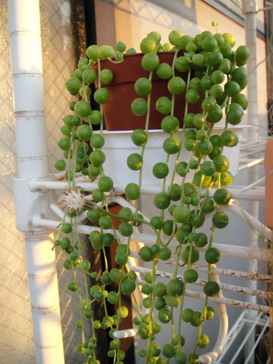 2009/10/21 綠之鈴的花真的好香喔~