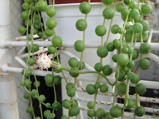 2009/10/23 花莖彎來彎去的~