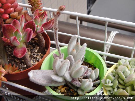 2010/4/11 福兔耳 / Kalanchoe eriophylla