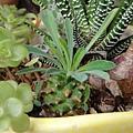 Euphorbia hyb 怪魔玉