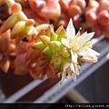 グリーンペット \ Crassulaceae Villadia batesii