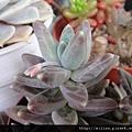グラウクム \ 千代田の松 \ 千代田之松 \ Pachyphytum compactum glaucum