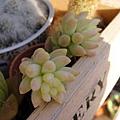 Sedum morganianum  玉串 / 玉つつり