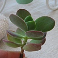 Crassula atropurpurea var. watermeyeri / ワーテルメイエリー