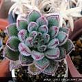 白閃冠 / ボンビシナ / Echeveria cv. Bombycina