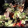 Schlumbergera truncatus K. Sch. \ 螃蟹蘭