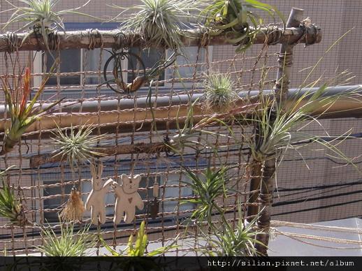 2011/4/25 Tillandsia butzii 虎斑