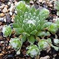 Sempervivum arachnoideum 卷絹