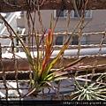 トリコロール \ 三色花 \ Tillandsia tricolor