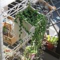 Senecio rowleyanus 綠之鈴 / グリーンネックレス
