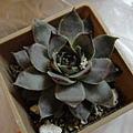 紫雲盃 Sempervivum 'SIUNHAI'