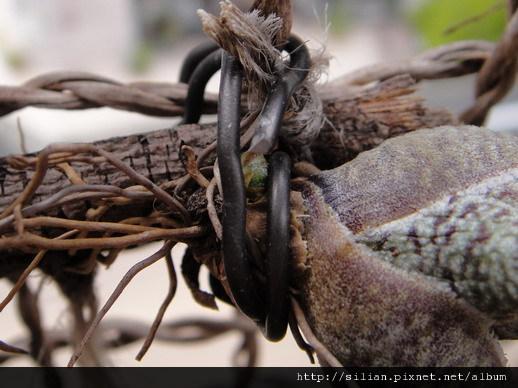 2011/6/8 Tillandsia butzii 虎斑