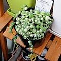 Senecio rowleyanus f.vaiegata 綠之鈴錦 / 錦斑入りグリーンネックレス