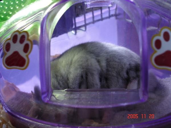 在鼠窩熟睡的胖