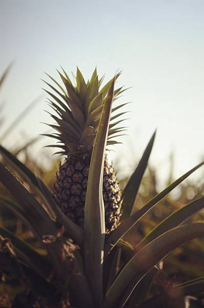 微熱山丘—微熱山丘周圍有一片片鳳梨田,這些土鳳梨長的嬌小可愛卻是讓微熱山丘的鳳梨酥會遠近馳名的重要功臣之一ㄋ…[1]