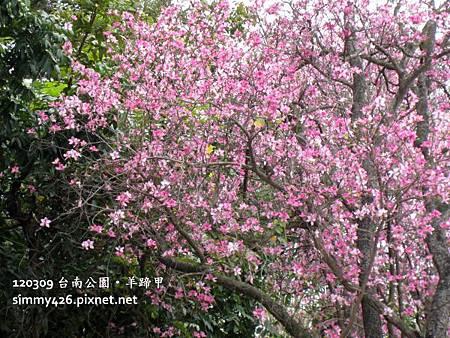 120309 台南公園 羊蹄甲(2)